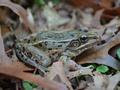 В Нью-Йорке обнаружили новый вид лягушек