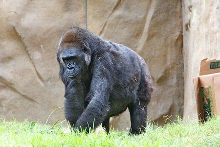 Расшифрован геном гориллы