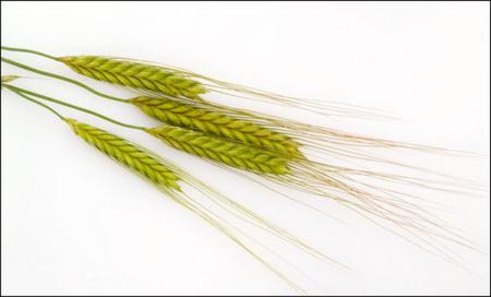 Получен солеустойчивый сорт пшеницы