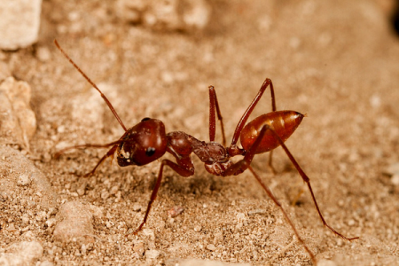 Как пустынные муравьи ориентируются на местности
