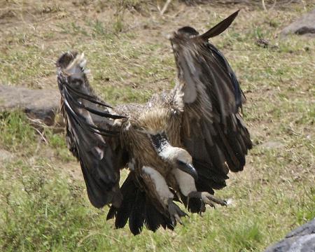 Почему грифы сталкиваются с ветряками