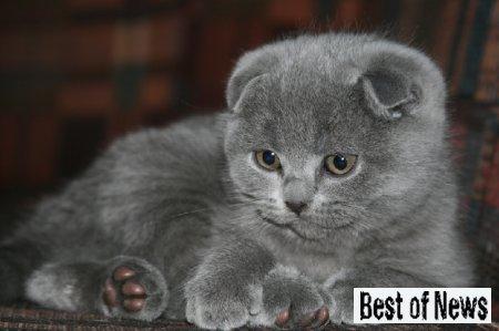 Удивительный кот британец вислоухий