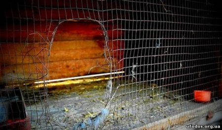 В Закарпатье неизвестный зверь выжирает кроликов и кошек