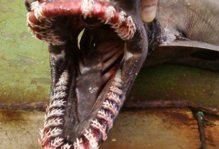 У берегов Шпицбергена поймали редчайшую древнюю акулу
