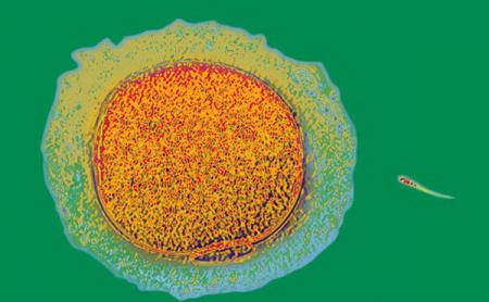 Как яйцеклетка защищается от лишних сперматозоидов