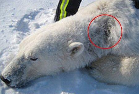 Белых медведей и тюленей заражает загадочная болезнь