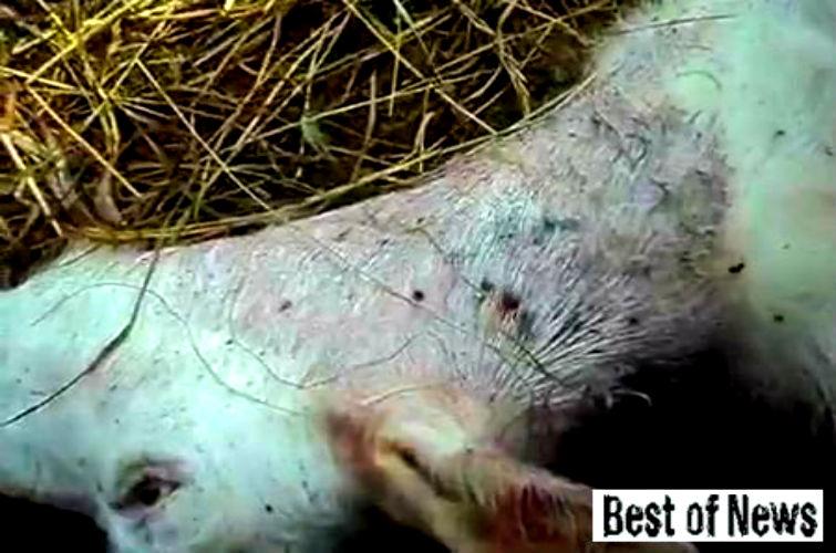 коз убил неизвестный зверь