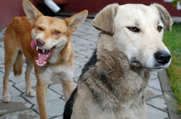 чупакабру убила собака
