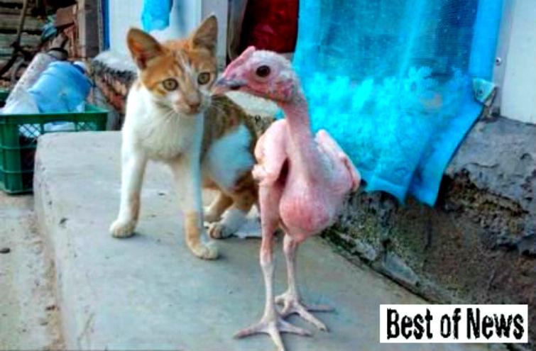 лысый цыпленок