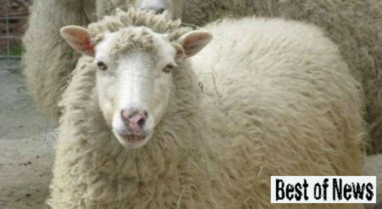 чупакабра напала на овец