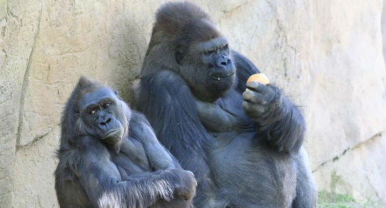геном гориллы