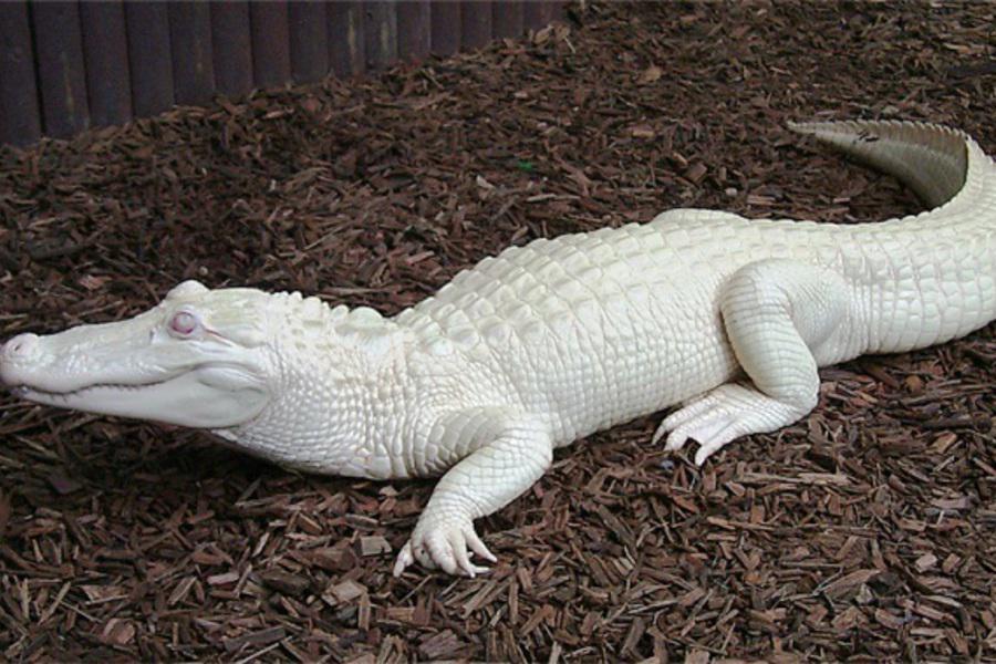 крокодил-альбинос