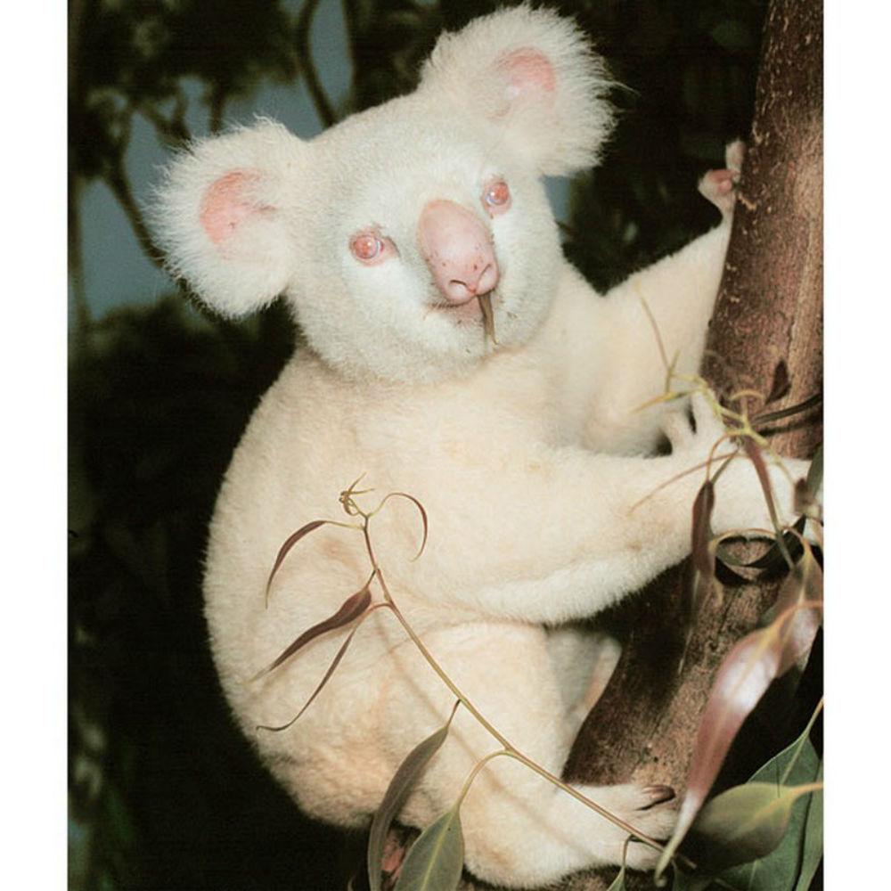 коала-альбинос