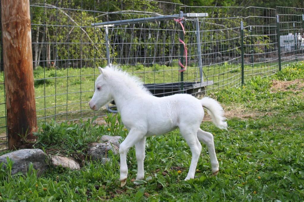 пони-альбинос