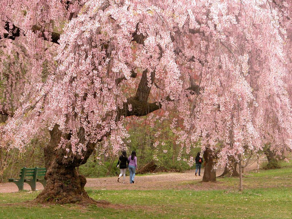раннее цветение сакуры