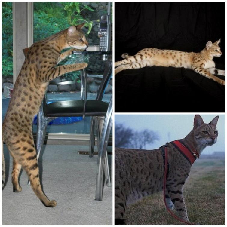 самая большая кошка Трабл