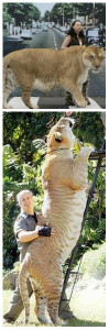 самый большой кот в мире лигр