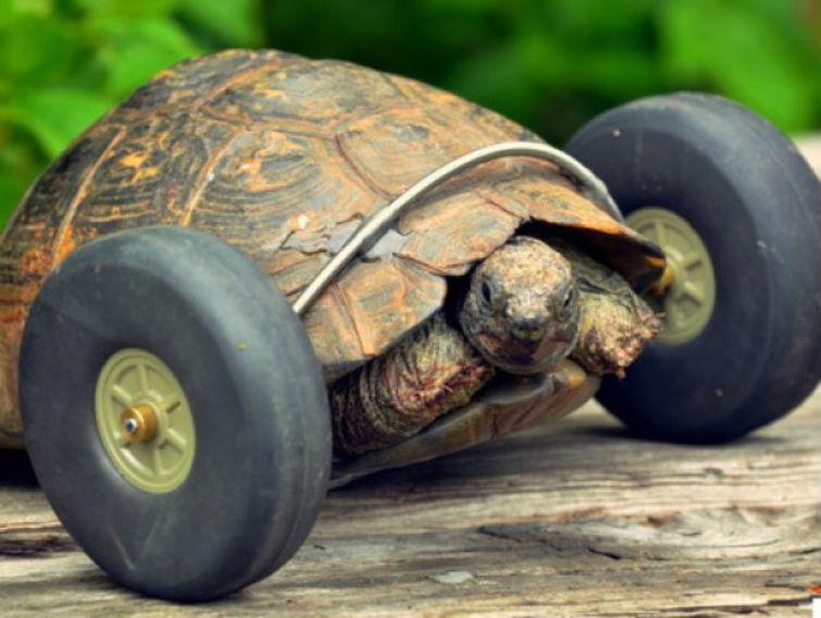 черепаха на колесах