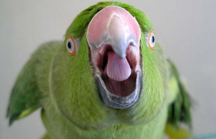 индийский попугай нашел убийцу