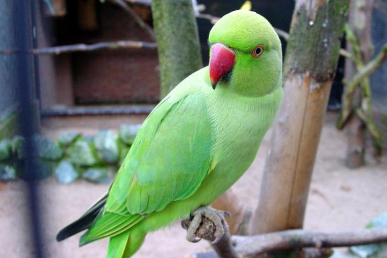 индийский попугай